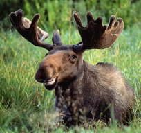 majestic_moose